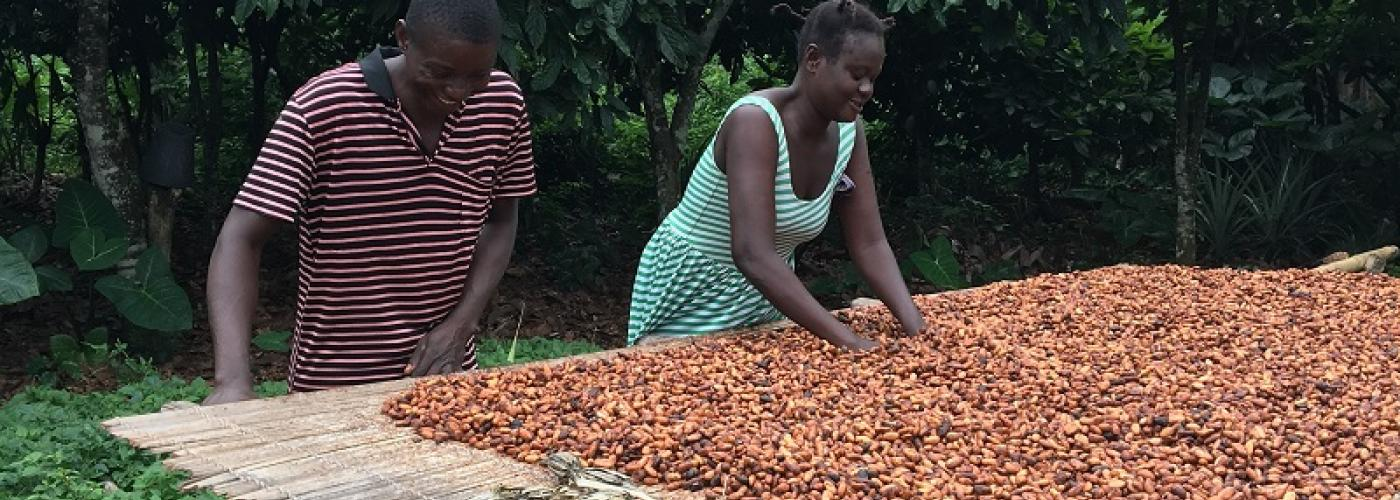Farmers from Kasapin, Ghana and their fermenting cocoa beans