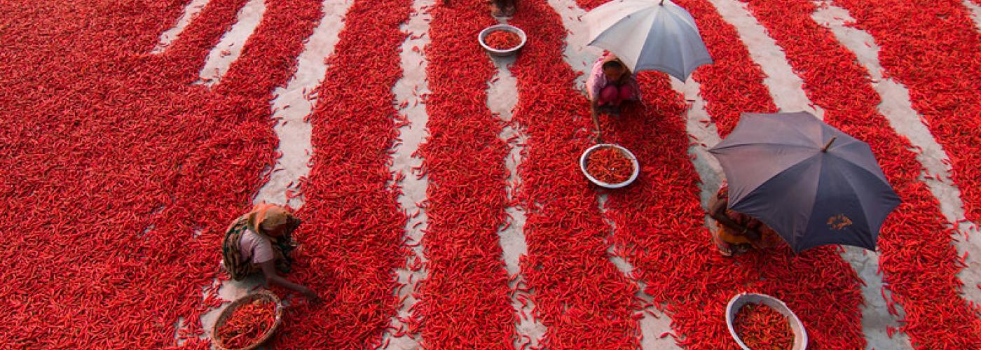 Photo: Women pick chilies in the Bogra district of northern Bangladesh. Credit: Azim Khan Ronnie / Feed the Future.