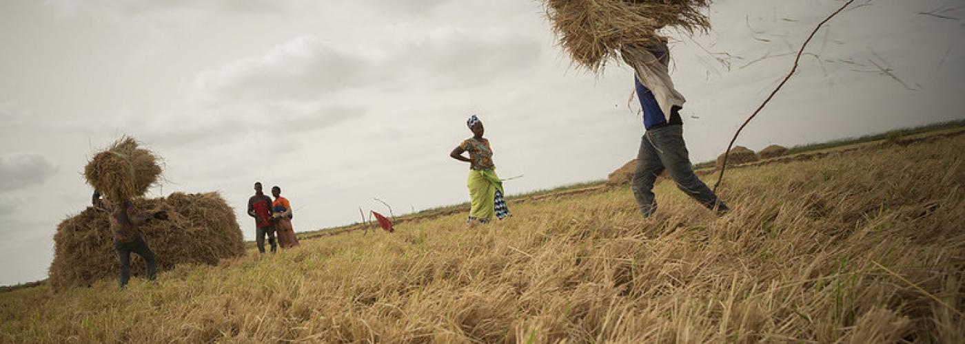 Three farmers harvest rice on their family plot in the Senegal River Delta, where the Millennium Challenge Corporation rehabilitated irrigation infrastructure as part of its compact with Senegal.