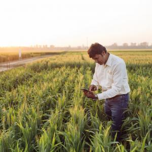 Photo: Man analyzes wheat crops using his smartphone.