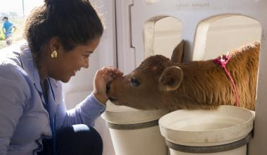 woman smiling and petting a baby cow