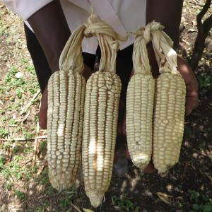 Man holding maize.