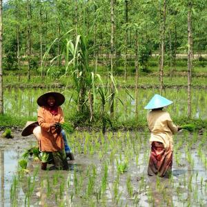 Photo: Two women planting a paddy field in Lombok, Indonesia. Photo Credit: Jasmine Halki, Flickr.