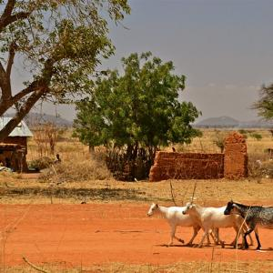 Photo: pack of goats in Tanzania.