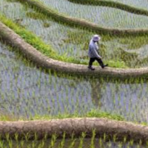 Person walking through trail in a rice paddy
