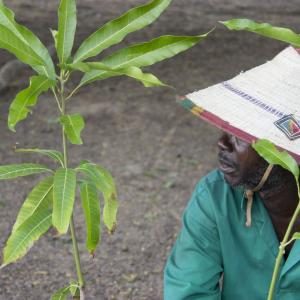 Researchers are testing different grafting techniques, mango varieties as well as bean types for levels of mineral content like iron and protein for nutrition in Senegal. Photo Credit: https://www.flickr.com/photos/feedthefuture/40224643672/