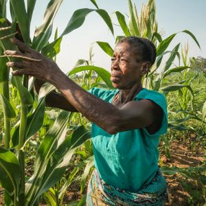 Photo: Woman working in maize field near Yangambi, DRC.