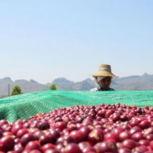 Photo: A Shan coffee farmer earned 2-4 times more for their sustainably produced Arabica beans. Producers and processors formed new businesses, obtained bank financing, and began selling directly to higher value specialty coffee markets.