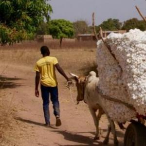 A man leads a cart of cotton down a path