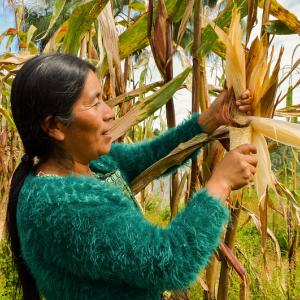 Photo: A women harvests maize