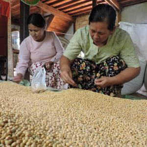 Photo: Women picking soybean supply chain in Myanmar. Photo Credit: Winrock International