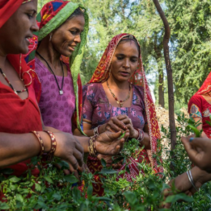 Female farmers in India, which grows 80% of the world's supply of guar. The Sustainable Guar initiative supports farmers and ensures a reliable supply chain for this plant with multiple uses in consumer and industrial products. Photo: Solvay.